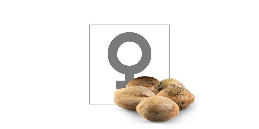 Top 10 Graines Féminisées