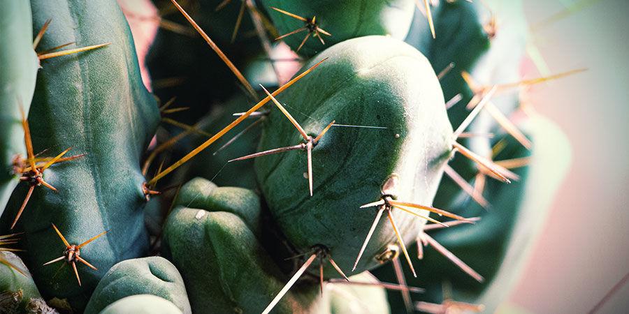 Torche Bolivienne (Echinopsis lageniformis)