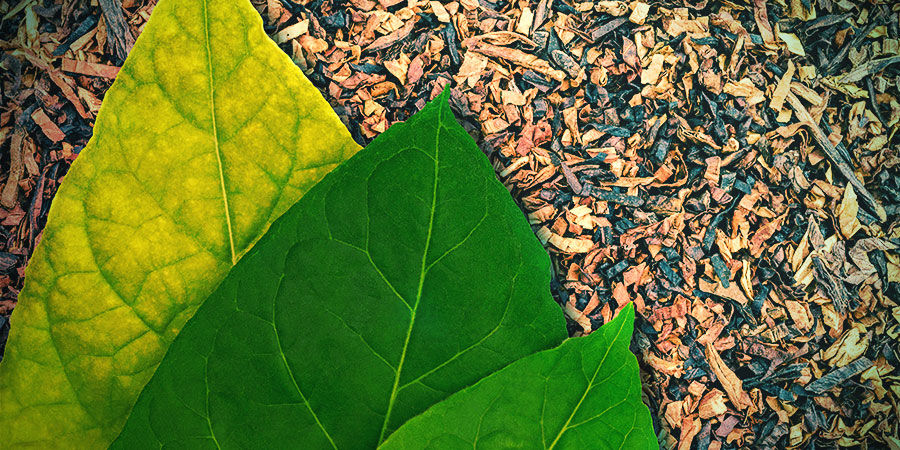 Tabac (Nicotiana tabacum)