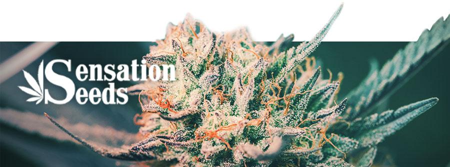 Information Sur Sensation Seeds