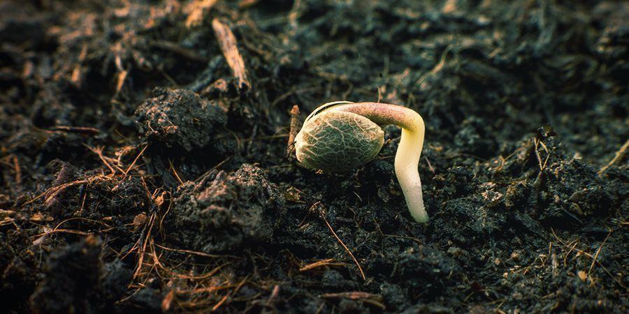 Germer les Graines de Sensi Seeds