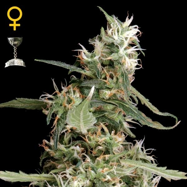 Greenhouse Seeds Arjan's Ultra Haze 1