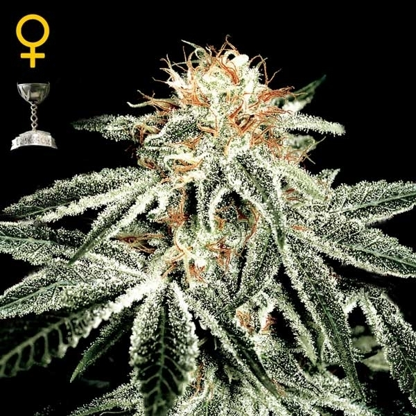 Greenhouse Seeds White Widow