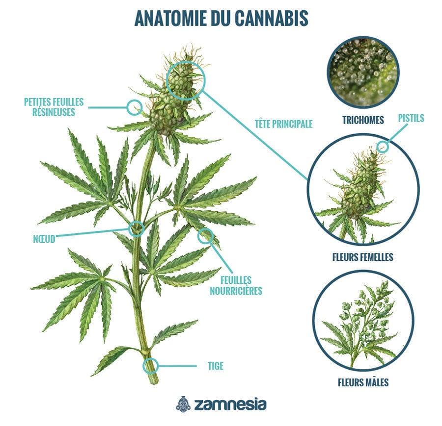 Anatomie Du Cannabis