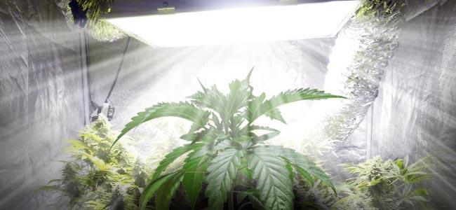 Cannabis Culture En Intérieur
