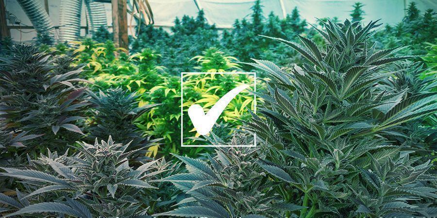 Graines de Cannabis Régulières : Les Avantages