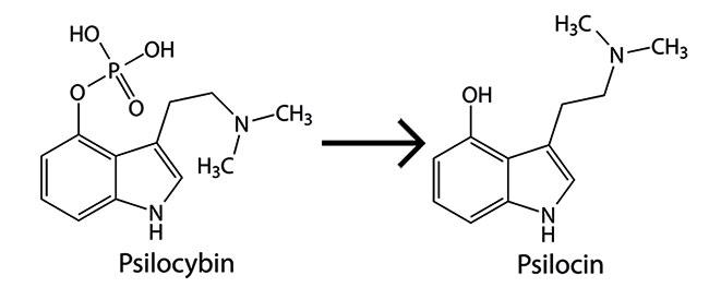 Psilocybin se transforme en psilocine