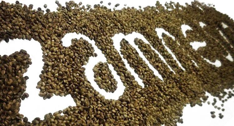Meilleure graine de cannabis