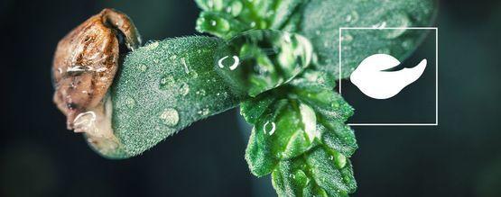 Comment Faire Germer Les Graines De Cannabis