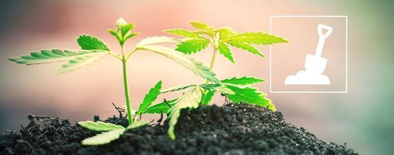 Tout Ce Qu'il Faut Savoir Sur La Culture Du Cannabis En Terre
