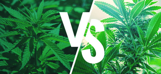 Sativa vs. Indica: Effets