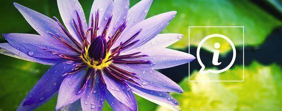 Qu'est-Ce Que Le Lotus Bleu ?