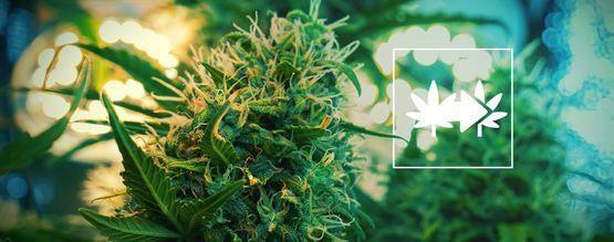 La Meilleure Façon De Cloner Des Plants De Cannabis