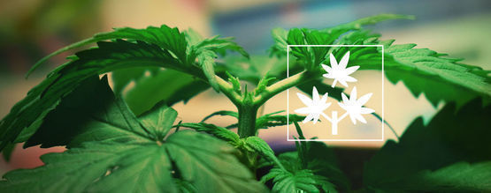 Étêtage Cannabis: Tout Ce Que Vous Devez Savoir