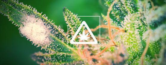 Les Problèmes Récurrents Dans Son Jardin De Cannabis