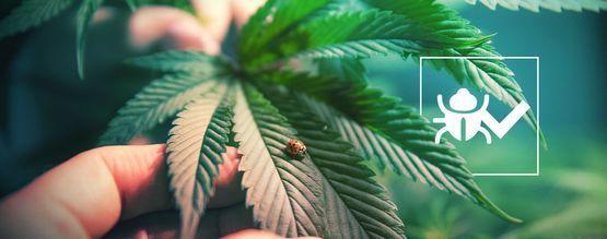Des Insectes Pour Vous Aider À Mieux Cultiver Votre Cannabis