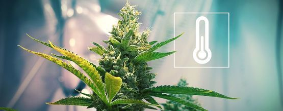 Température Dans L'Espace De Culture De Cannabis