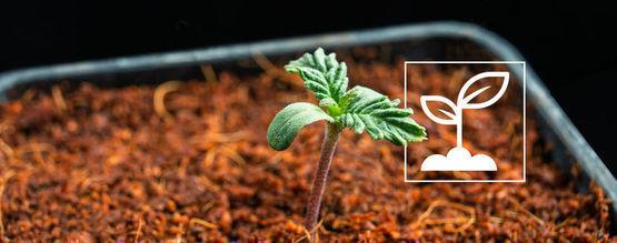 Que Sont Les Plantules De Cannabis?