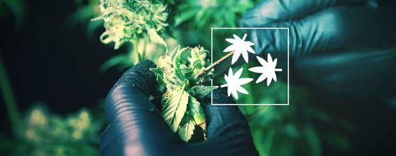 Défoliation Du Cannabis : Tout Ce Que Vous Devez Savoir
