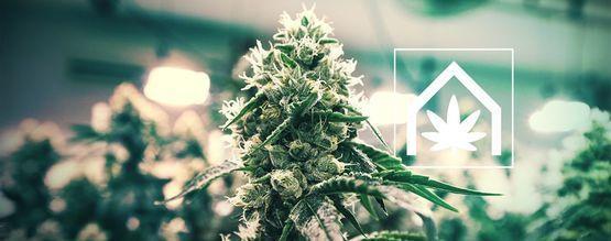 Comment Cultiver Du Cannabis En Intérieur ?