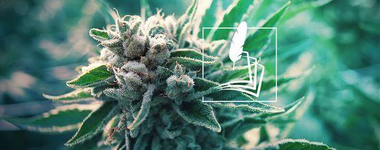 Histoire Du Cannabis Médical