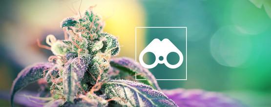 Chasse Aux Phénotypes De Cannabis : Tout Ce Que Vous Devez Savoir