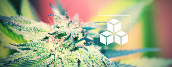 L'importance Des Sucres Dans La Culture Du Cannabis