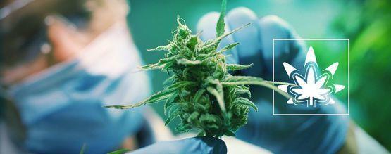 Comment (Et Pourquoi) Régénérer Des Plants De Cannabis?