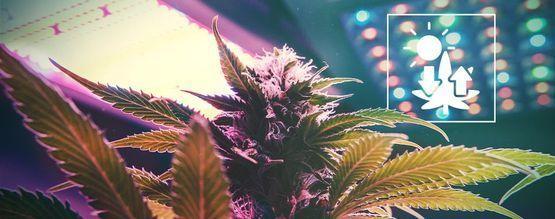 Cannabis Et Photosynthèse
