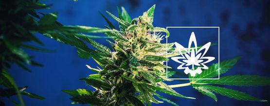 Comment Maximiser Les Rendements Du Cannabis Autofleurissant