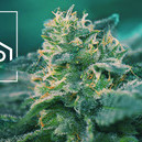 Variété De Cannabis Riche En CBD, C'est Quoi ?