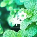 Plantes CompagnesPour Vos Cultures De Cannabis : Menthe