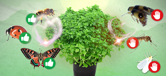 Plantes Compagnes du Cannabis : Basilic