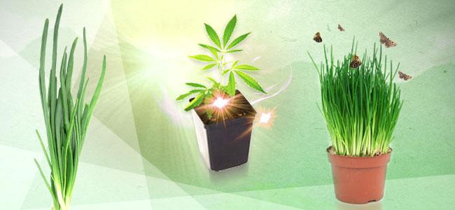 Plantes Compagnes Du Cannabis : La Ciboulette