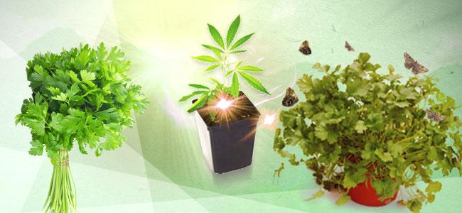 Le Compagnonnage De Cannabis : La Coriandre