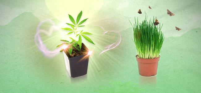 Ciboulette et cannabis