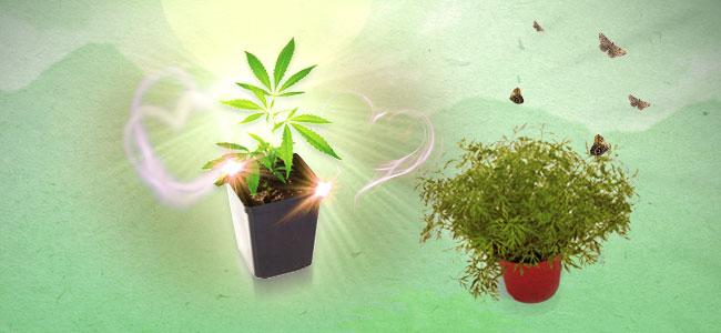 Plante Compagne du Cannabis Aneth