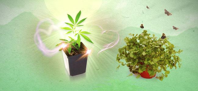 Coriandre et cannabis