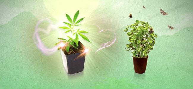 Menthe et cannabis
