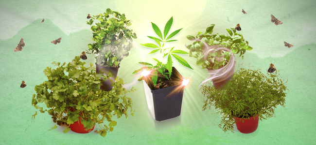 Compagnonnage Végétal cannabis