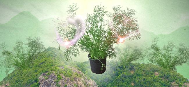 L'aneth : Une Plante Compagne Parfaite Pour Le Cannabis
