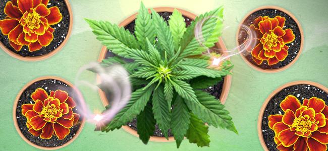 une couche protectrice externe de cette plante autour de votre pied de cannabis