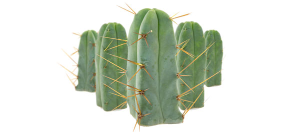 Cactus Des Quatre Vents