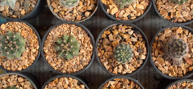 Guide Du Cactus à Mescaline