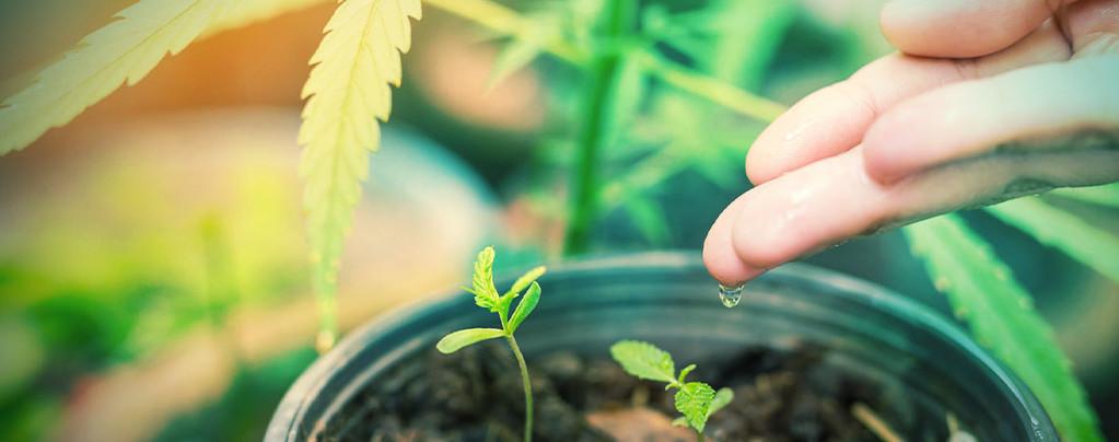 Meilleure Eau pour les Plants de Cannabis