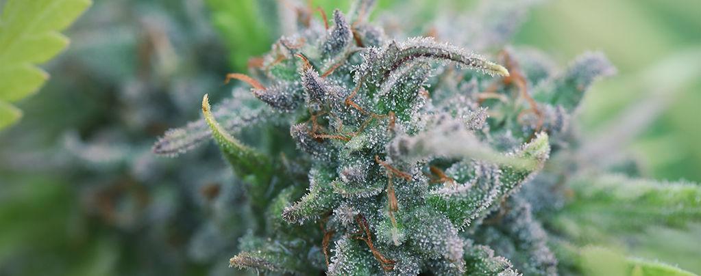 Culture De Cannabis Bio