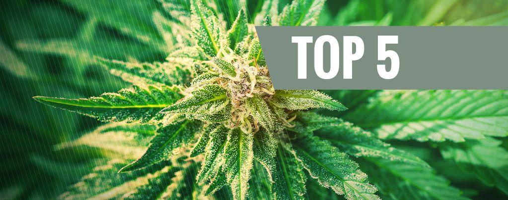Top 5 Des Variétés De Cannabis Ruderalis