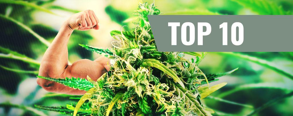 Top 10 Des Variétés Fortes En THC