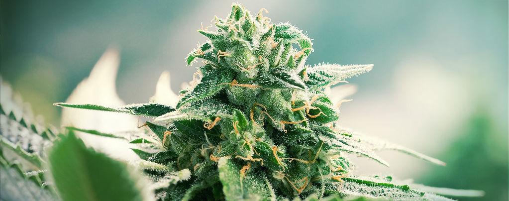 Les Origines Du Cannabis Haze