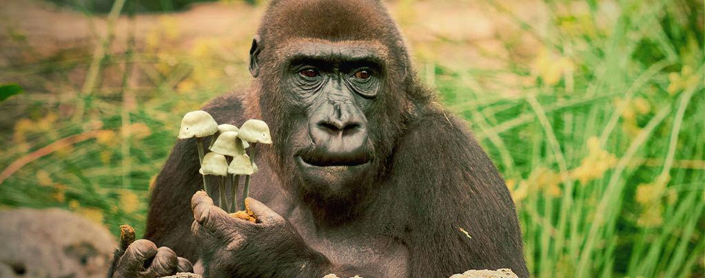 La théorie de l'évolution humaine du singe défoncé